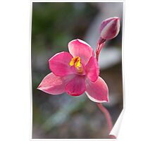 Pink Sun Orchid - Thelymitra carnea  Poster