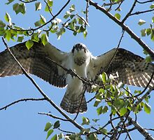 Osprey with Outstretched Wings by hummingbirds