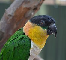 black headed caique by Ericaa7