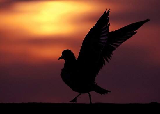 Ring-billed Gull wingflap silhouette. by Daniel Cadieux