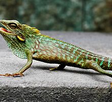 Green Crested Lizard (Color change), Bronchocela cristatella by Normf