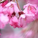 Simply Pink by Chris Armytage™