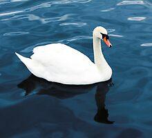 White swan on blue lake by Atanas Bozhikov NASKO