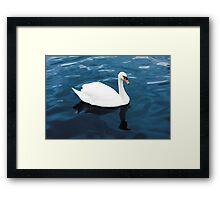 White swan on blue lake Framed Print