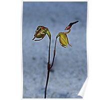 Flying Duck Orchid, Open & Closed Poster