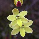 Lemon sun-orchid by Barb Leopold
