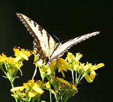 More Swallowtail Butterfly by Terry Aldhizer