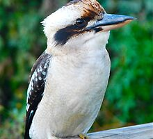 Kookaburra sits on the beach fence post by Penny Smith
