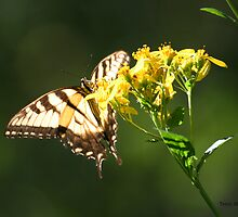 Sunshine Through A Swallowtail Like Stained Glass by Terry Aldhizer