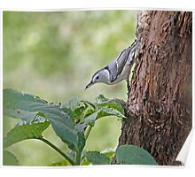 Nuthatch On The Move Poster