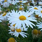 Daisies by Chanzz