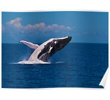 Humpack Whale -  Breaching 2 Hervey Bay QLD Poster