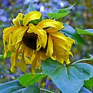 Sunflower in the rain by amontanaview