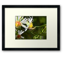 A hungry hoverfly. Framed Print