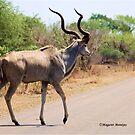 ELEGANT ROAD-CROSSING OF THE KUDU-Tragelaphus strepsiceros by Magriet Meintjes