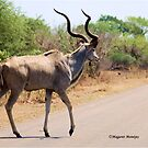 ELEGANT ROAD-CROSSING OF THE KUDU-Tragelaphus strepsiceros by Magriet Meintjes