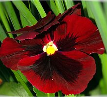 PANSY'S LIKE VELVET AND AS RED AS WINE by Magaret Meintjes