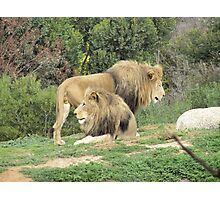 Handsome Male Lions at Werribee Zoo. Vic. Aust. Photographic Print