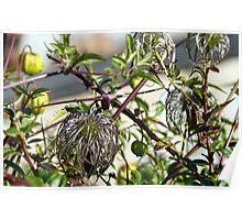Bad Hair Day for Clematis Poster