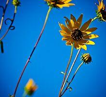 Yellow Daisies  by Phillip M. Burrow
