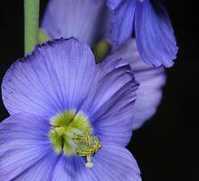 """""""Sporrie"""" (Heliophila) by Etwin"""