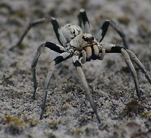 Big black and white spider. by BigAndRed