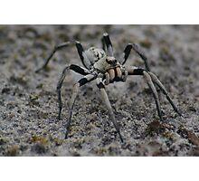 Big black and white spider. Photographic Print
