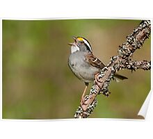 White-throated Sparrow in full song! Poster
