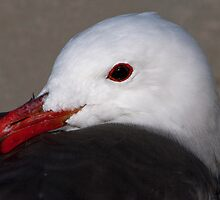 Portrait of a Heermann's Gull by Martin Smart