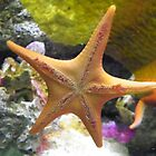 Starfish  by Caren