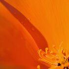Popped Poppy by jayneeldred
