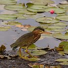 Crowned Night Heron (Hammond Pond, MA) by LudaNayvelt