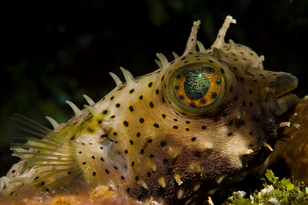 Sleeping Puffer by Todd Krebs