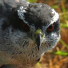 Northern Goshawk3 by Winona Sharp