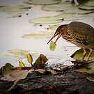 Crowned Night Heron (Hammond Pond, MA) -2 by LudaNayvelt
