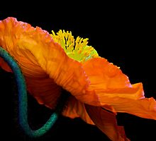Poppy Popping by Wendi Donaldson Laird