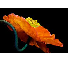 Poppy Popping Photographic Print