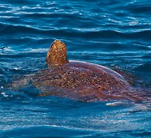 Sea Turtle 1 by Jaxybelle