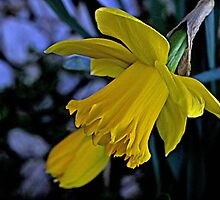Daffodils by tlc4presty