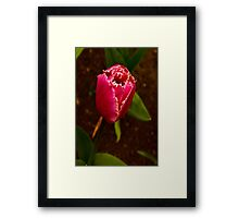 Varigated Tulip #2   (Spring - Early May) Framed Print