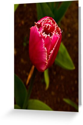Varigated Tulip #2   (Spring - Early May) by Trevor Kersley