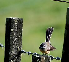 Fantail on a wire fence. by Barbara Caffell