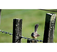 Fantail on a wire fence. Photographic Print