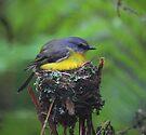 EastonYellow Robin by Donovan Wilson