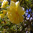 Sunshine on a Yellow Rose by tarynb