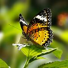 Butterfly by bkphoto