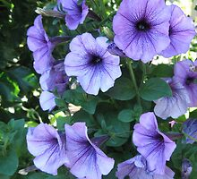 Petunias by the pool by 2jerry