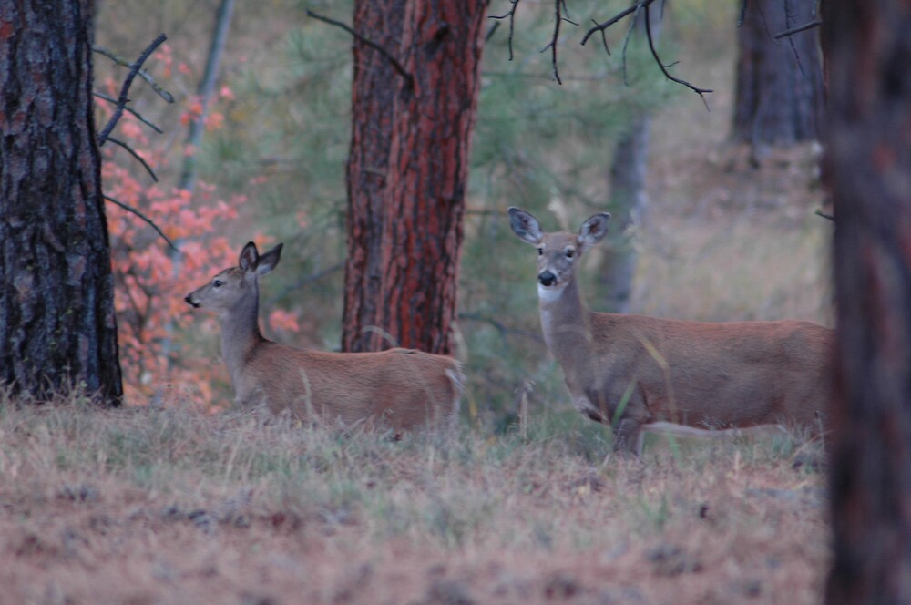 Pair of White Tails by lincolngraham