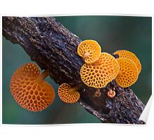 Rainforest fungi,Lamington NP,Australia Poster