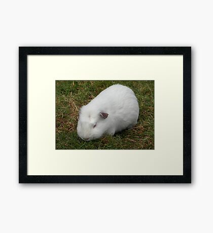 White Crested Guinea Pig Framed Print